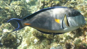 Movie clip - Coral fish Sohal surgeonfish (Acanthurus sohal) with coral reef stock video footage
