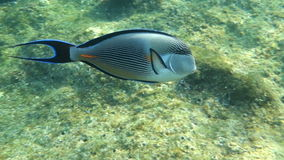 Movie clip - Coral fish Sohal surgeonfish (Acanthurus sohal) with coral reef. Red Sea stock footage