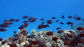 Movie Clip of Coral Reef with Tropical Fish. In the Red Sea stock video