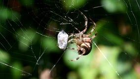 European garden spider, diadem spider, cross spider, crowned orb weaver, araneus diadematus stock video footage