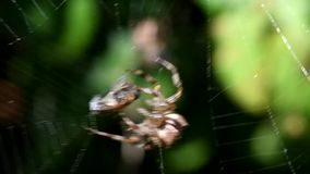 European garden spider, diadem spider, cross spider, crowned orb weaver, araneus diadematus. Movie - european garden spider, diadem spider, cross spider, crowned stock video