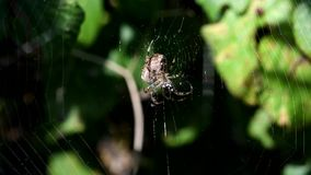 European garden spider, diadem spider, cross spider, crowned orb weaver, araneus diadematus stock footage