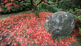Movie of Falling Red Laced Maple Leaves from Tree Autumn Season on a Breezy Day in Portland Japanese Garden Closeup 1080p. Movie of Falling Red Laced Maple stock video footage
