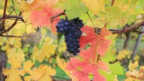 Movie of grape-bearing vines with a bunch of dark red grapes fall season 1080p stock video footage