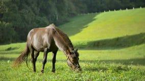 Moviendo alrededor el caballo potente hermoso del semental del marrón oscuro que se coloca en prado coloque y que pasta en la pue almacen de video