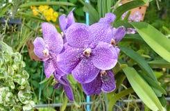 Movilidad mezclada de la cría de la orquídea de Vanda en jardín Fotografía de archivo