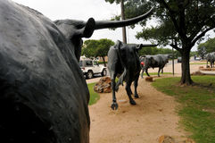 A movimentação do gado de Waco Foto de Stock