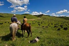 Movimentação do gado Imagens de Stock
