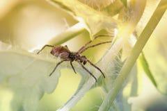 Movimenti striscianti del ragno nell'erba Immagini Stock Libere da Diritti