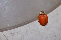 Movimenti striscianti della coccinella sulla Tabella Fotografia Stock