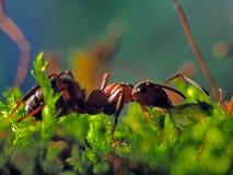 Movimenti striscianti della formica sull'erba Fotografia Stock