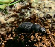 Movimenti striscianti dello scarabeo a terra sulla terra Fotografie Stock Libere da Diritti