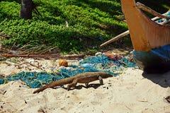 Movimenti striscianti di Varan lungo la spiaggia Fotografie Stock