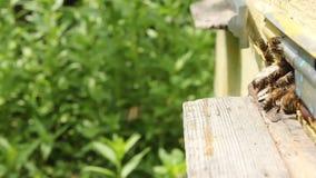 Movimento ativo das abelhas perto da entrada à colmeia video estoque