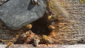 Movimento attivo delle api vicino all'entrata all'alveare archivi video