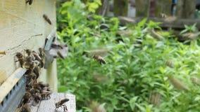 Movimento attivo delle api vicino all'entrata all'alveare stock footage