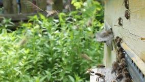 Movimento attivo delle api vicino all'entrata all'alveare video d archivio