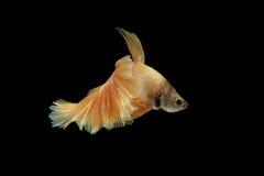 Movimento a cauda dos peixes de combate siamese do ouro isolados no bla Imagens de Stock