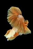 Movimento a cauda dos peixes de combate siamese do ouro isolados no bla fotos de stock