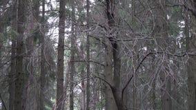 Movimento da câmera na floresta do abeto vermelho em torno dos ramos do abeto filme