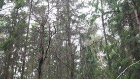Movimento da câmera na floresta do abeto vermelho em torno dos ramos do abeto video estoque