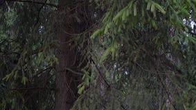 Movimento da câmera na floresta do abeto vermelho em torno dos ramos do abeto vídeos de arquivo