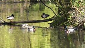 Movimento da natação do pato no lago video estoque