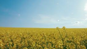 MOVIMENTO DA ZORRA: Flores da colza no campo com azul vídeos de arquivo
