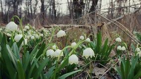 MOVIMENTO DA ZORRA: Floresta de Snowdrops na primavera filme