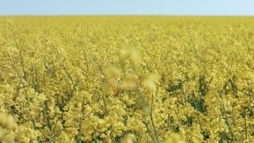 MOVIMENTO DA ZORRA: Viole o campo, colheitas do canola no céu azul video estoque