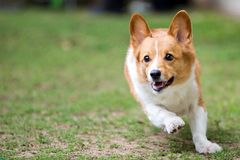 Movimento de corrida branco de Brown Pembroke Welsh Corgi On Grass congelado fotos de stock royalty free
