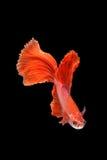Movimento de peixes de Betta Fotografia de Stock
