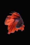Movimento de peixes de Betta Foto de Stock Royalty Free