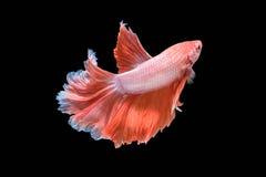 Movimento de peixes de Betta Imagem de Stock Royalty Free