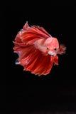 Movimento de peixes de Betta Fotos de Stock Royalty Free