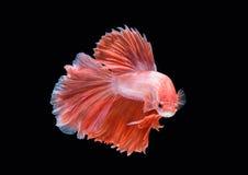 Movimento de peixes de Betta Imagens de Stock Royalty Free