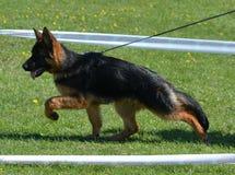 Movimento del cucciolo del pastore tedesco Fotografia Stock Libera da Diritti