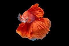 Movimento del pesce di Betta Fotografia Stock
