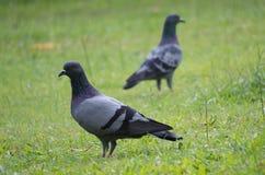 Movimento della colomba Fotografie Stock