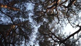 Movimento della macchina fotografica del cerchio da terra che affronta cielo con i pini ed il chiaro cielo blu durante il tramont archivi video