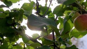 Movimento della macchina fotografica di di melo con le mele mature dove raggi di The Sun archivi video