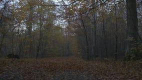 Movimento della macchina fotografica lungo la foresta all'autunno stock footage