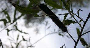 Movimento dispar dei trattori a cingoli di Lymantria in foresta Fotografia Stock Libera da Diritti