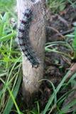 Movimento dispar dei trattori a cingoli di Lymantria in foresta Fotografie Stock