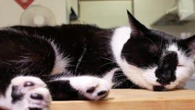 Movimento do foco em mudança da câmera nos pés e na cabeça de gato do gato malhado filme