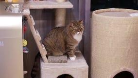 Movimento do gato de gato malhado que olha e que joga com povos em casa filme