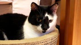 Movimento do gato doméstico que olha e que joga com povos filme