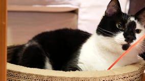 Movimento do gato doméstico que olha e que joga com povos em casa filme