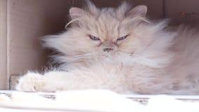 Movimento do gato persa que joga com os povos dentro da caixa vídeos de arquivo