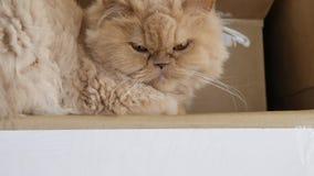 Movimento do gato persa sonolento na caixa com definição 4k vídeos de arquivo